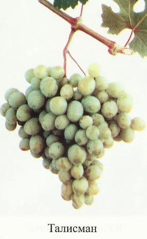 Про сортах винограду восторговской групи, переваги сортів групи захоплення, опис, фото