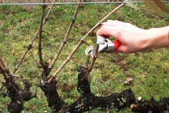 Обробка винограду восени перед укриттям на зиму