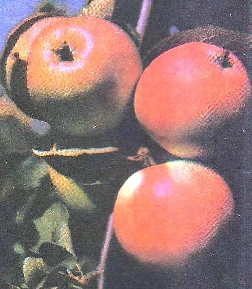 Обрізка плодових дерев, цілі і прийоми