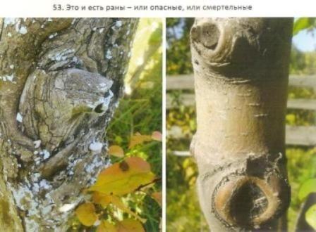 Обрізка рослин в сибірських садах, її відмінність від традиційної обрізки
