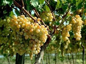Обрізка винограду влітку і восени: що потрібно знати про неї і як її здійснювати?