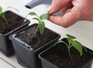 Огляд основних стимуляторів росту для розсади томатів і перцю: як виростити здорові сіянці у себе вдома