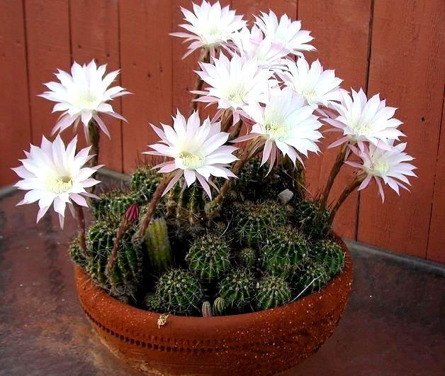 Кактус ехінопсіс - популярні види, догляд та розмноження в домашніх умовах