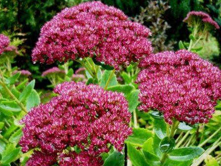 Очиток пурпуровий - прекрасна рослина у вашому саду. Посадка і догляд