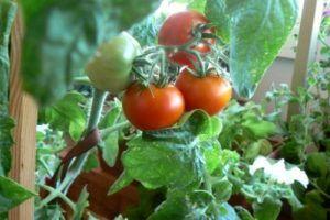 Город на підвіконні або балконі: все про те, як виростити помідори черрі в домашніх умовах