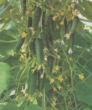 Огірки від посіву до збирання
