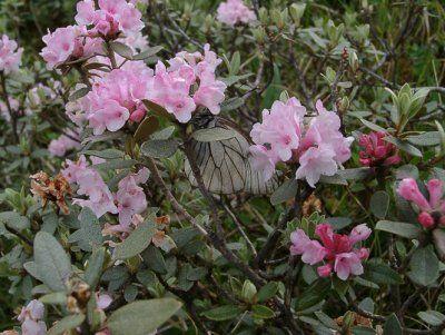 Опис і фото рододендрона адамса (сагандайля), його застосування