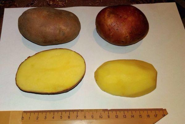 Опис сорту картоплі «вектор», визнаного досягненням в роботі російських селекціонерів