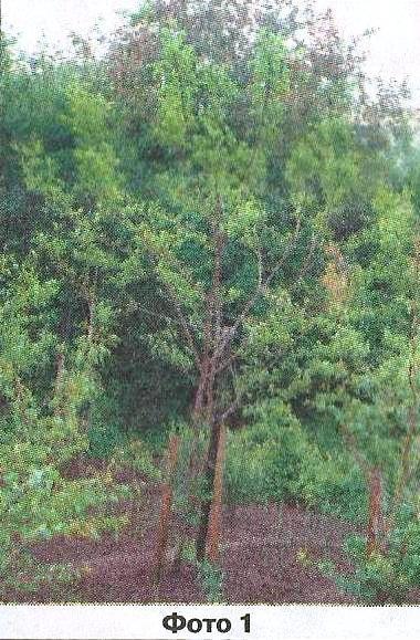 Опис стану уральського саду віталій миколайович шаламова влітку 2014 року, агротехнічні заходи