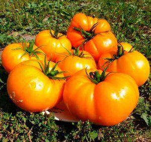 Бізон помаранчевий