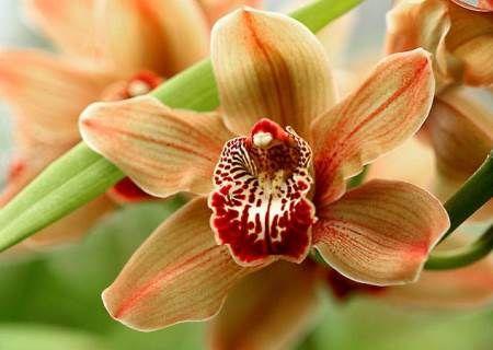 Орхідея будинку. Як доглядати?