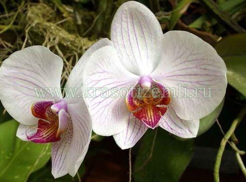 Сохне орхідея, що робити?