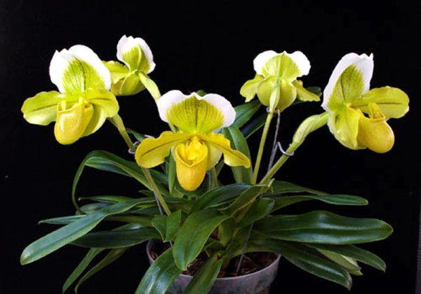 Лісова орхідея венерин черевичок