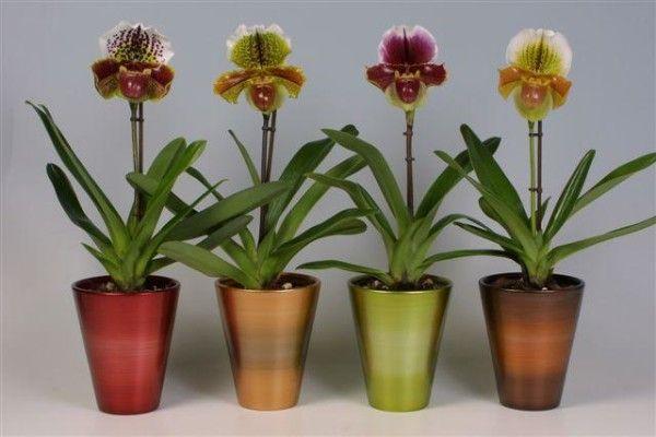 Орхідея зозулині черевички фото