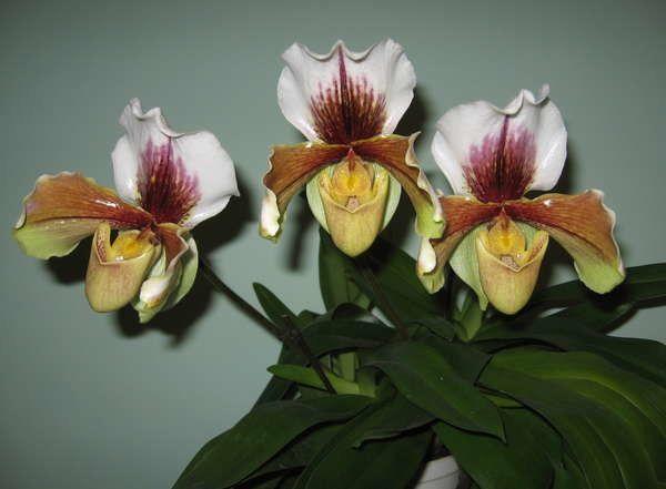 Орхідея пафіопеділум фото