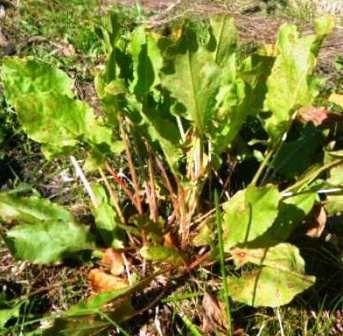 Осінній щавель дуже корисний, зберігання заготовлених листя