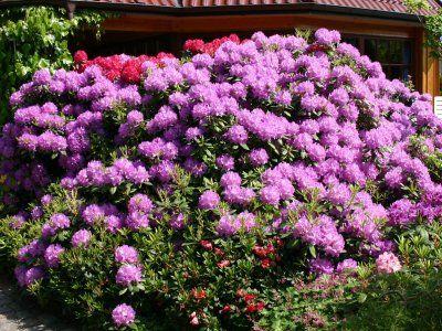 Особливості посадки рододендрона катевбінський грандіфлорума і вимоги по догляду за ним