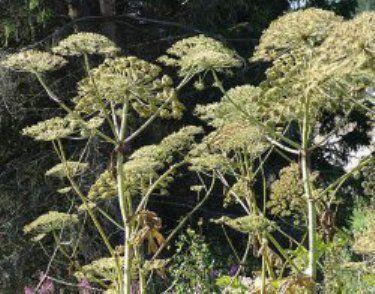 Обережно, борщівник отруйна рослина, опис, фото, способи боротьби