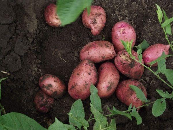 Фото картоплі сорту Любава