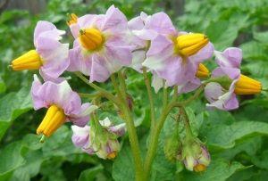 Характеристики втечі картоплі сорту Любава