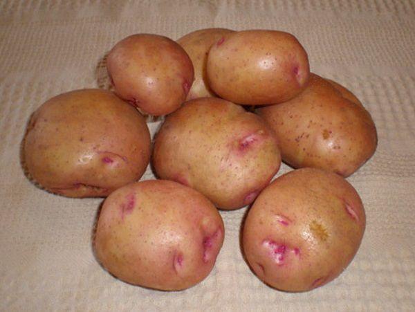 Фото картоплі сорту Снігур