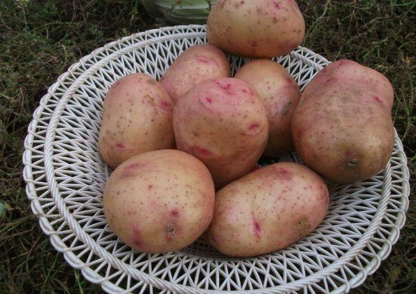 Картопля сорту Снігур: опис і фото