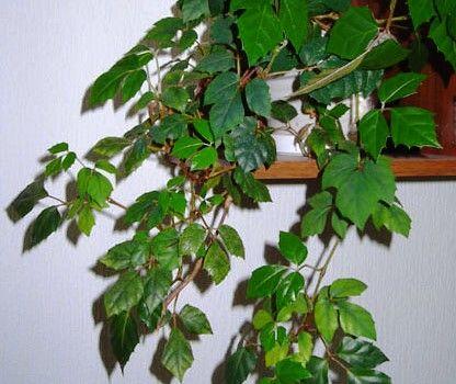 Озеленення квартири: кімнатні ліани