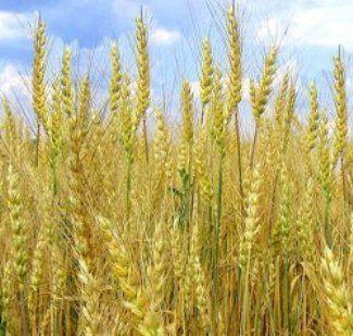 Озиме жито і родючість грунту