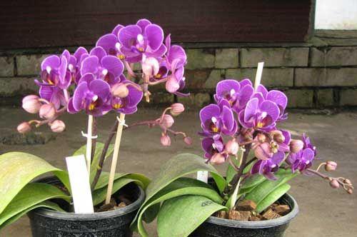 Чи можна пересаджувати орхідею під час цвітіння? В яких випадках без цього не обійтися?