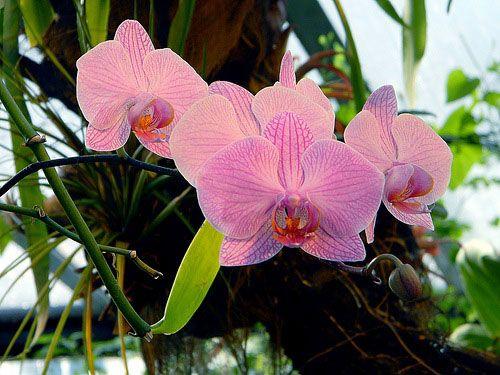 Особливості догляду за рожевою орхідеєю фаленопсис
