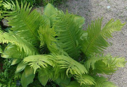 Папороті - найдавніші рослини, в дизайні саду