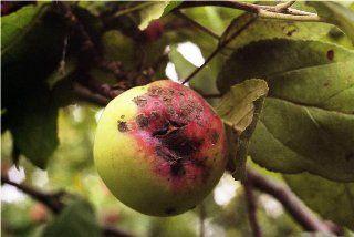 Парша яблуні та груші, заходи профілактики та боротьби з хворобою