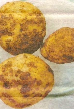 Парша звичайна картопляна і заходи боротьби з нею