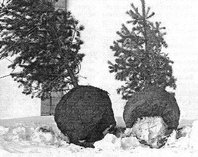 Пересадка дерев взимку