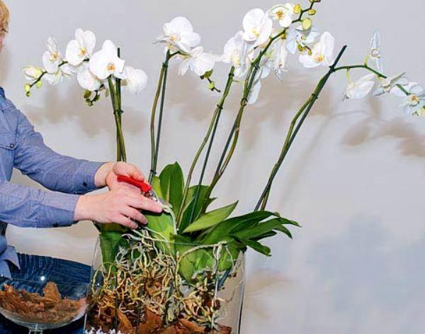 Пересадка в домашніх умовах орхідеї фаленопсис: як і коли можна пересаджувати, підбір грунту і горщика