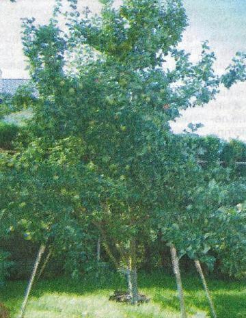Пересадка дорослих дерев