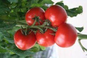 Перспективний гібрид для любителів класики - опис і характеристики сорту томату «верліока»