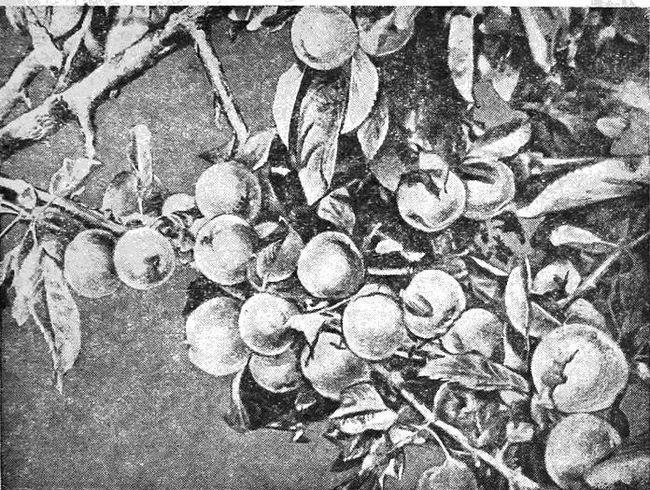Першопроходець сибірського садівництва н. Перов з томська, книга