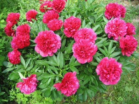 цвітіння півонії