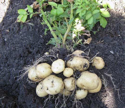 грунт для картоплі