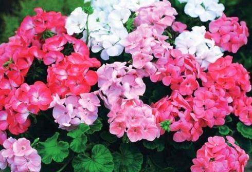 Чому герань перестала цвісти і як забезпечити пишне цвітіння?