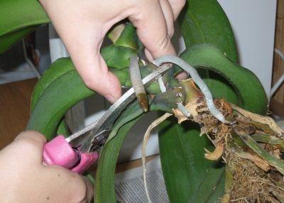 реанімація орхідеї