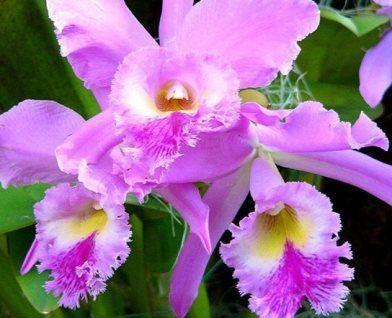 Чому в`януть листя у орхідеї: причини і що робити?