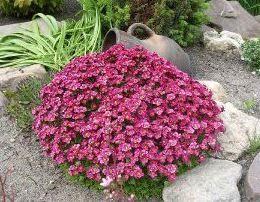 Грунтопокривні рослини, квітучі все літо