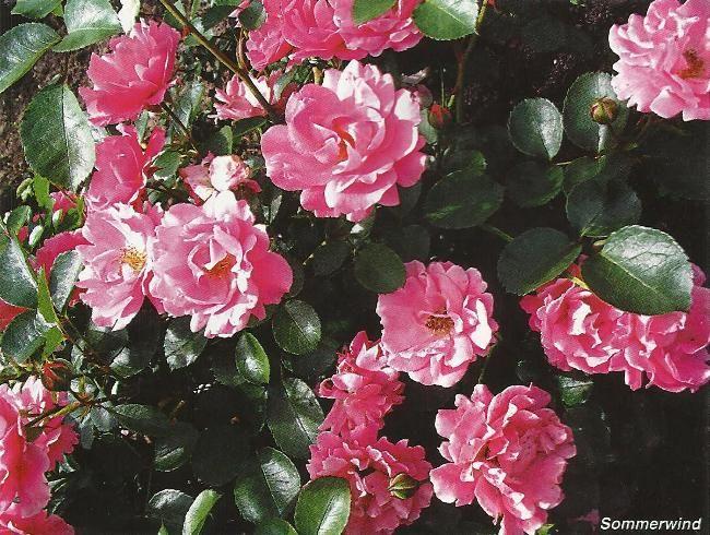 Грунтопокривні троянди, сорти, гібриди, особливості зростання, агротехніка
