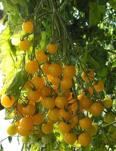 Підбір сортів овочів по їх корисними властивостями