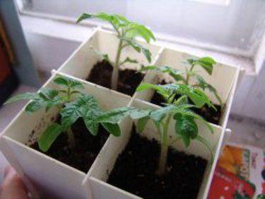 Підготовка насіння, і посів і вирощування розсади