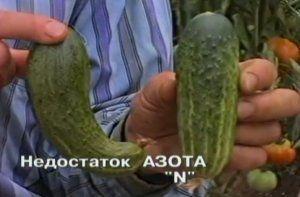 Ознаки недостка харчування корисними речовинами огірків