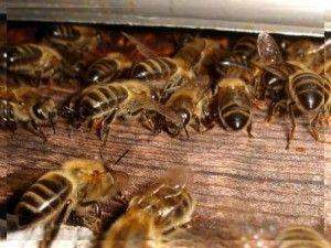 Підживлення бджіл. Крадіжка у бджіл.