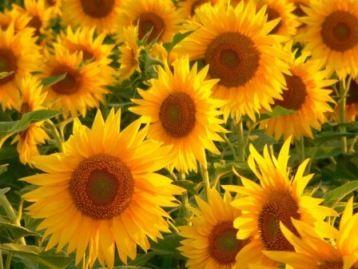 Соняшник в дизайні саду, сорти соняшнику